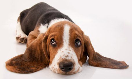 30 Laziest Dogs For A Couch Potato Owner Lazy Dog Breeds Basset
