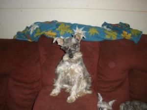 Trixie Is An Adoptable Schnauzer Dog In Berwick Pa My Name Is Trixie I Am About 4 Years Old And A Miniature Schnauzer I Schnauzer Dogs Animals Miniature Schnauzer