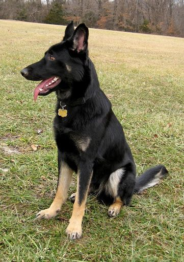 Bi Colors German Shepherd Dog Forums German Shepherd Colors