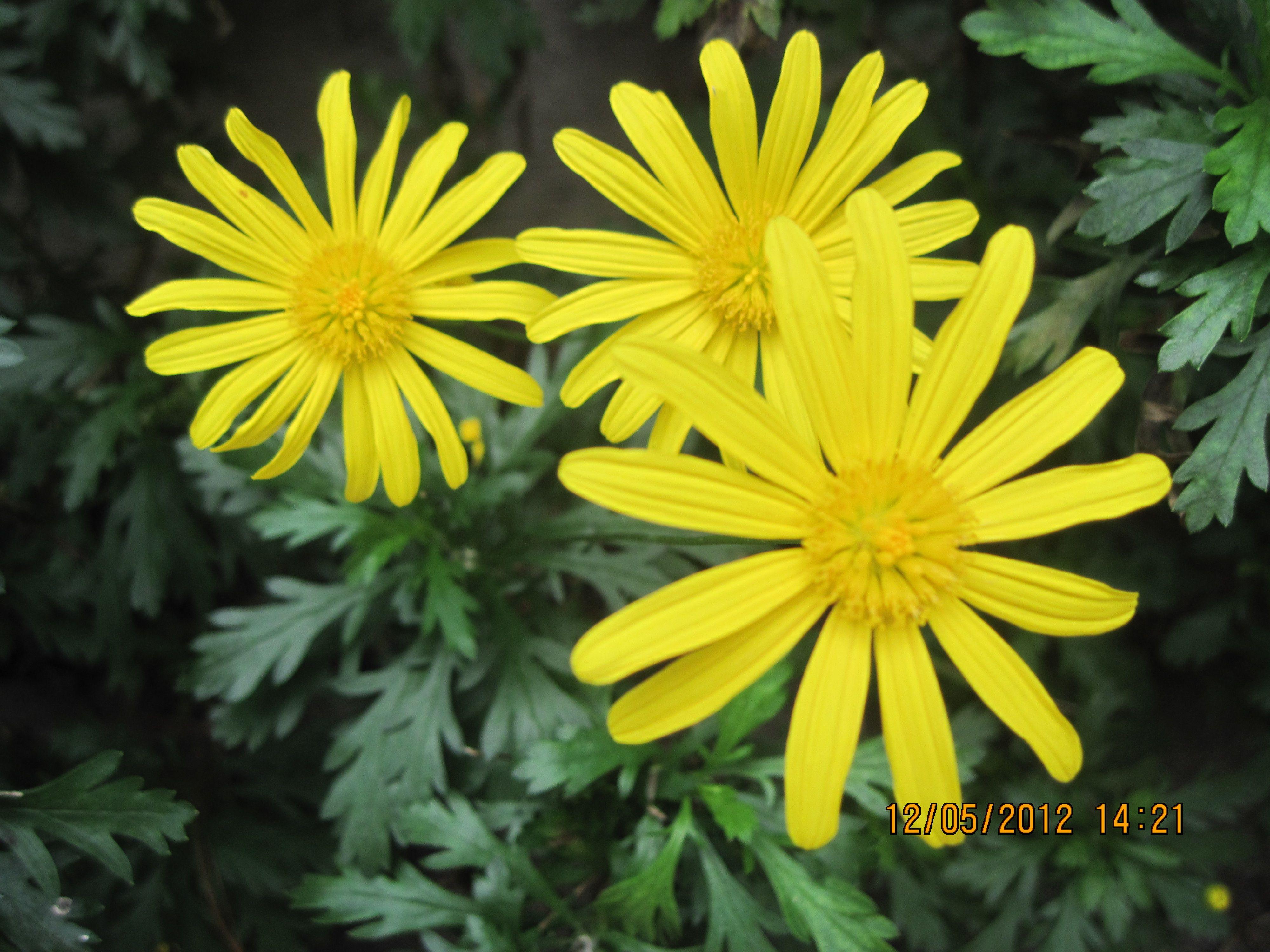 Looks like a daisy flowers pinterest explore daisies flowers and more looks like a izmirmasajfo