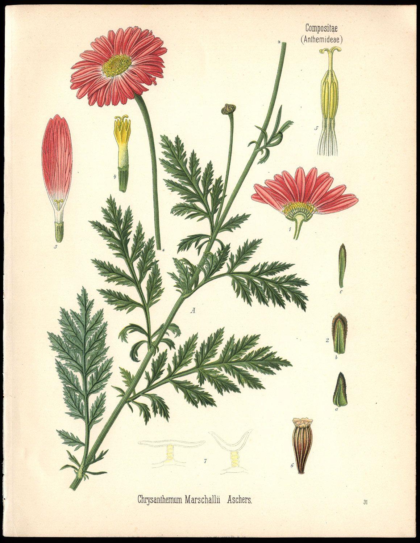 Herman Adolph Kohler 1887 Chrysanthemum