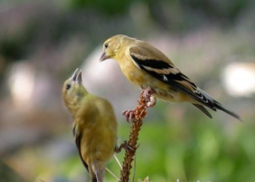 Mama & baby goldfinch caught in my garden. I turned my ...