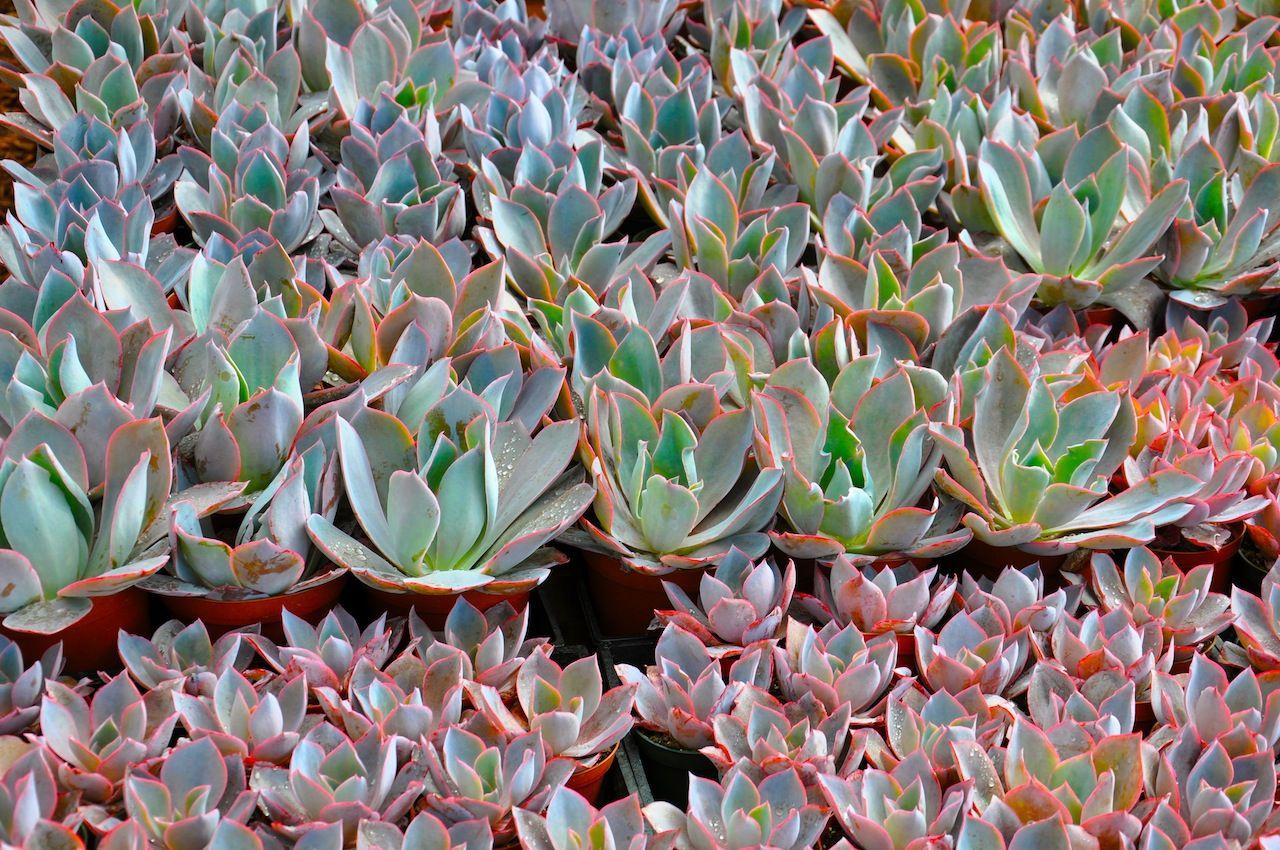 Orange County Succulents Echeveria Afterglow Garden