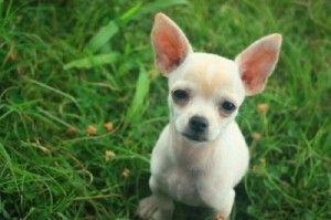 Chiweenie Puppies Oklahoma City