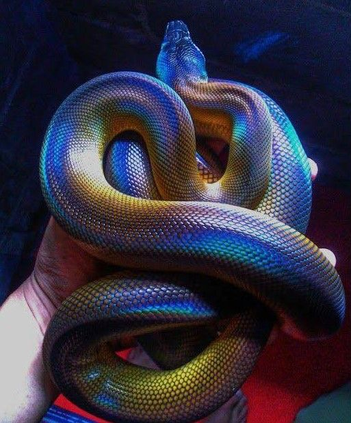 White Lipped Python also known as the D'Albert's water python