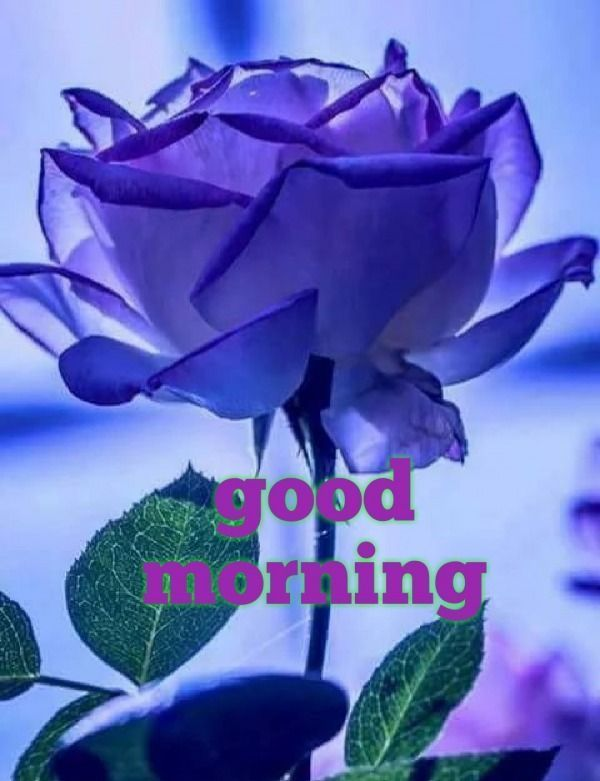 Picture: Good Morning With Purple Rose#good #morning # ...