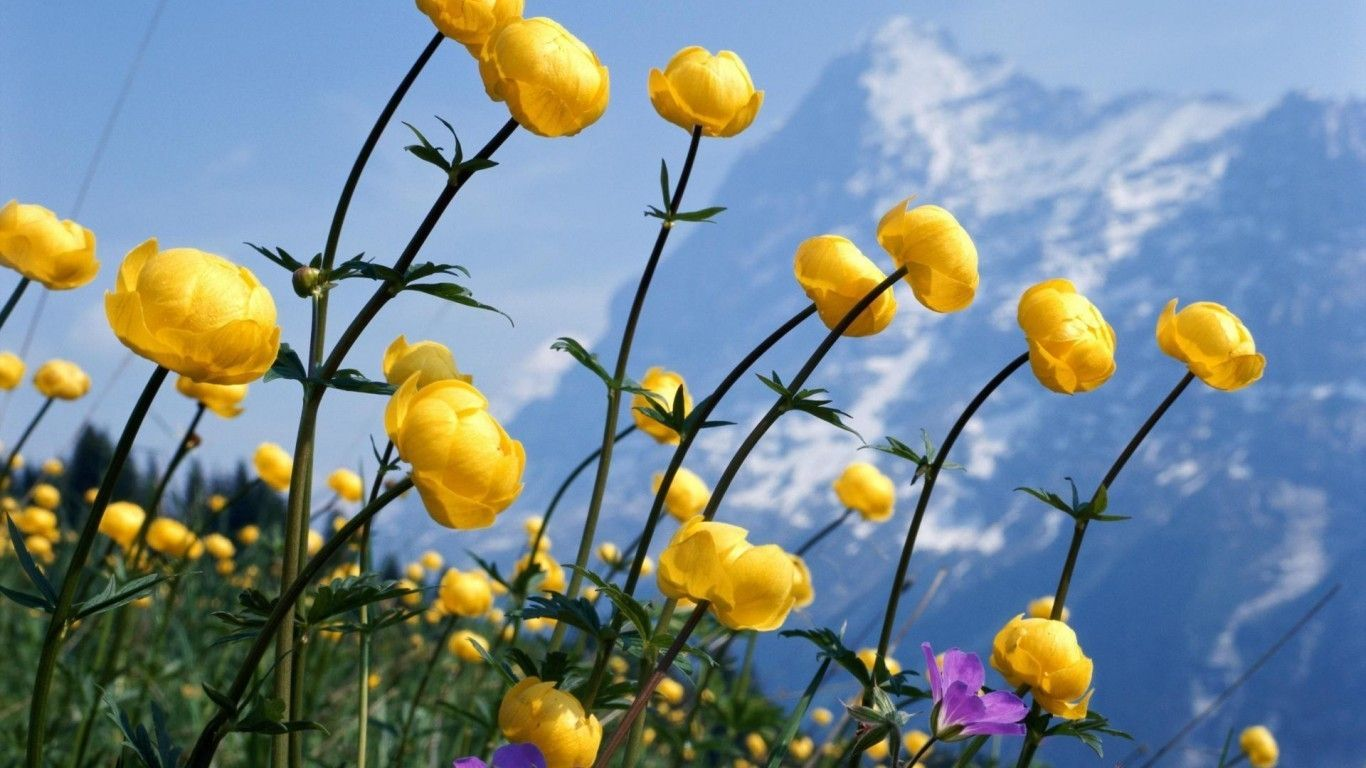 Yellow Mountain Flowers Hd Wallpaper Flowers Pinterest Hd
