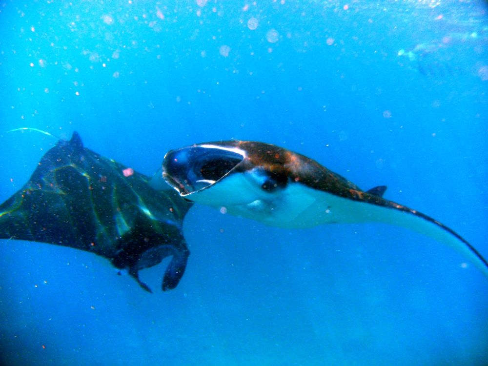 Manta Ray, Komodo Island, #Indonesia | Beaches and Oceans ...