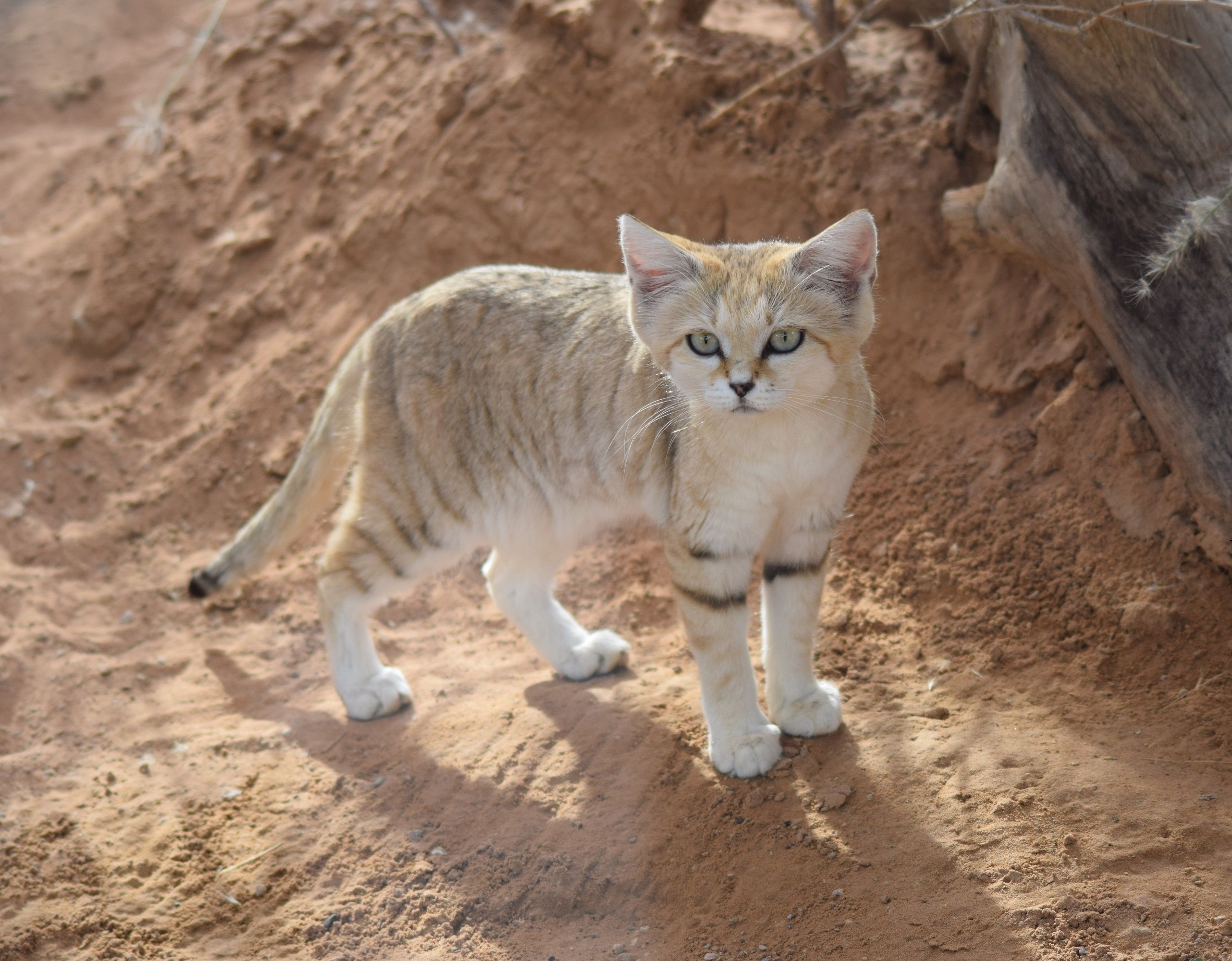 Arabian Sand Cat Rare animals, Endangered species