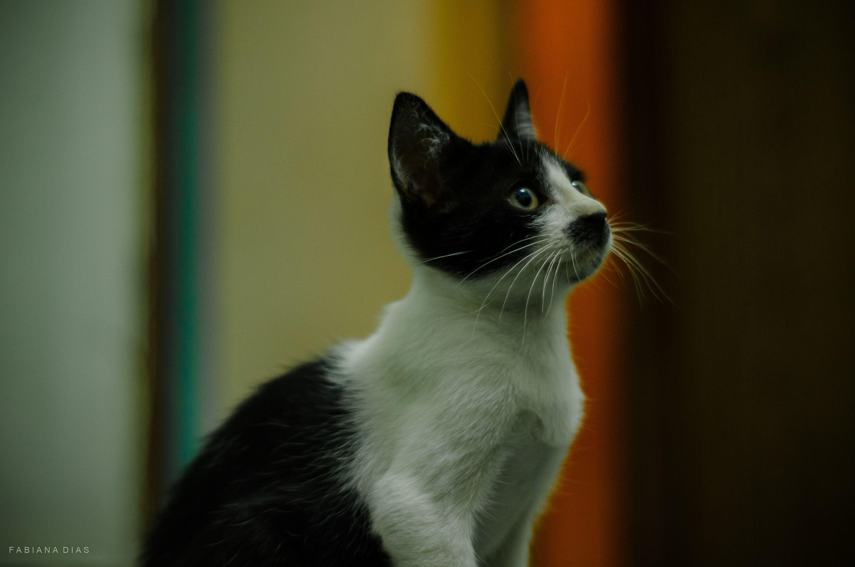 Fabiana Dias Meu gracioso Lincoln #felinos #fotografiapet #gatos #filhotes #filhoteslindos #catsofinstagram #catlover