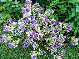 hebe andersonii variegata   Gardening   Pinterest   Flowers and ...