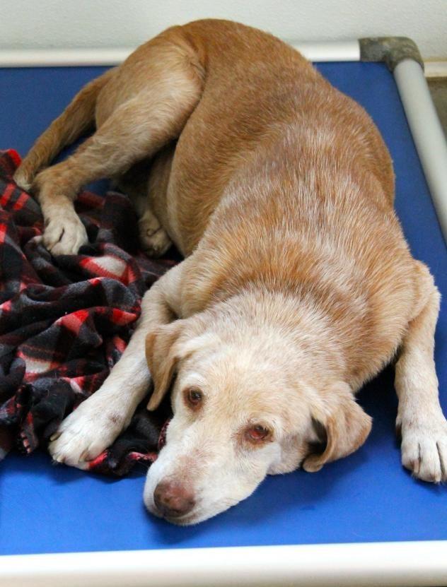 Adopt Dusty On Labrador Retriever Dog Retriever Dog Pets