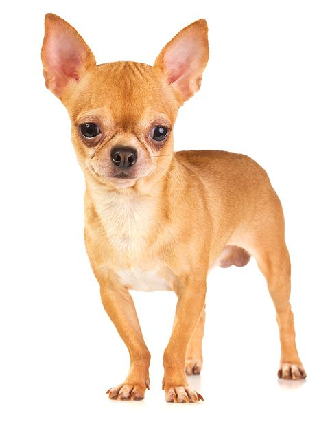 Why Chihuahuas shake and shiver Chihuahua dogs