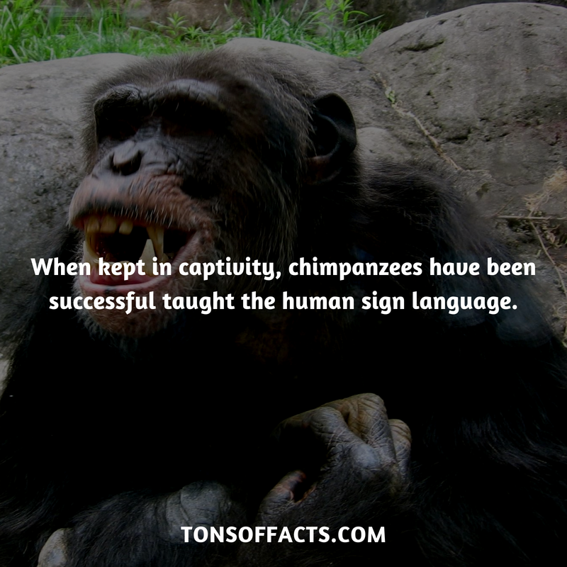 When kept in captivity, they have been successful taught