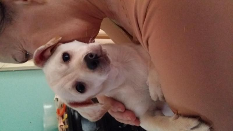 Meet Baby Boots, a Petfinder adoptable Dachshund Dog