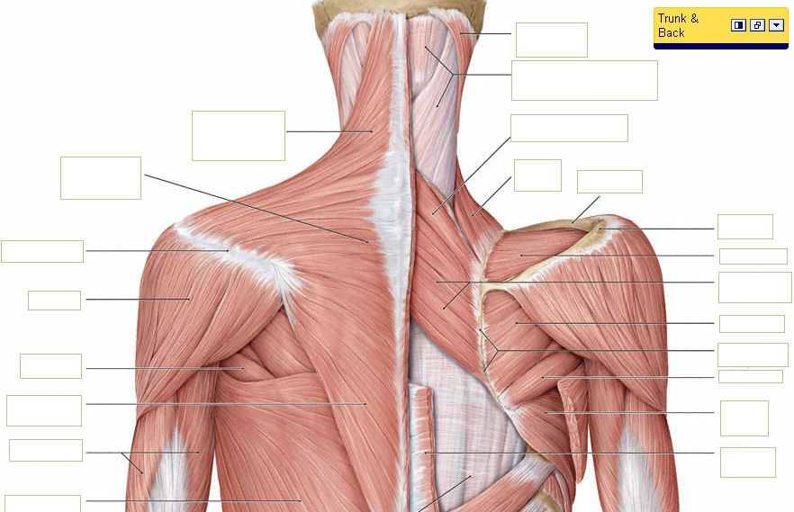 Back neck anatomy | human body anatomy organs,human body anatomy ...