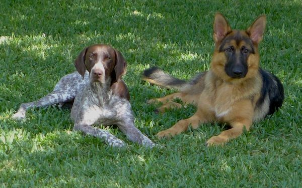 German Shorthaired Pointers 10 Fun Facts About These All Around Dogs German Shorthaired Pointer Dogs Dog Lovers