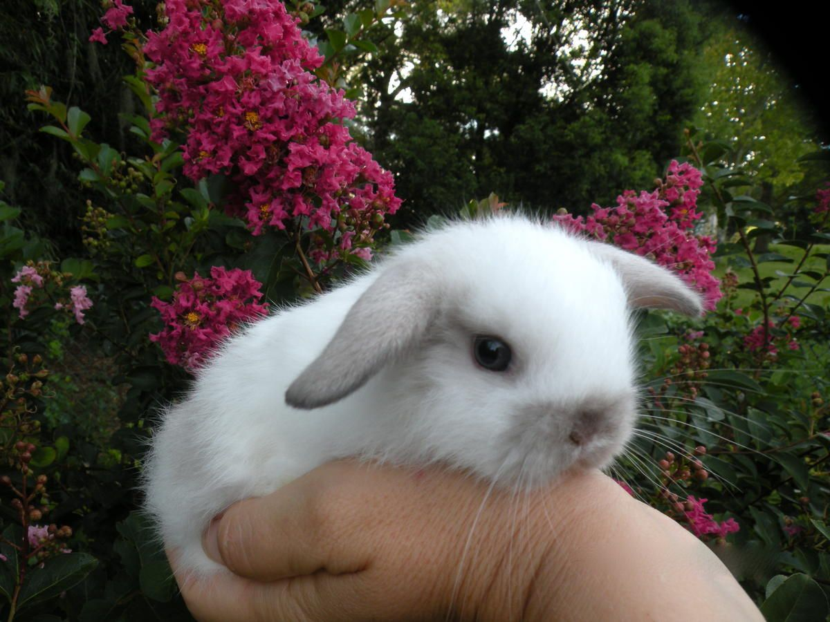 Holland Lop Baby Bunnies For Sale! in Tampa, Florida