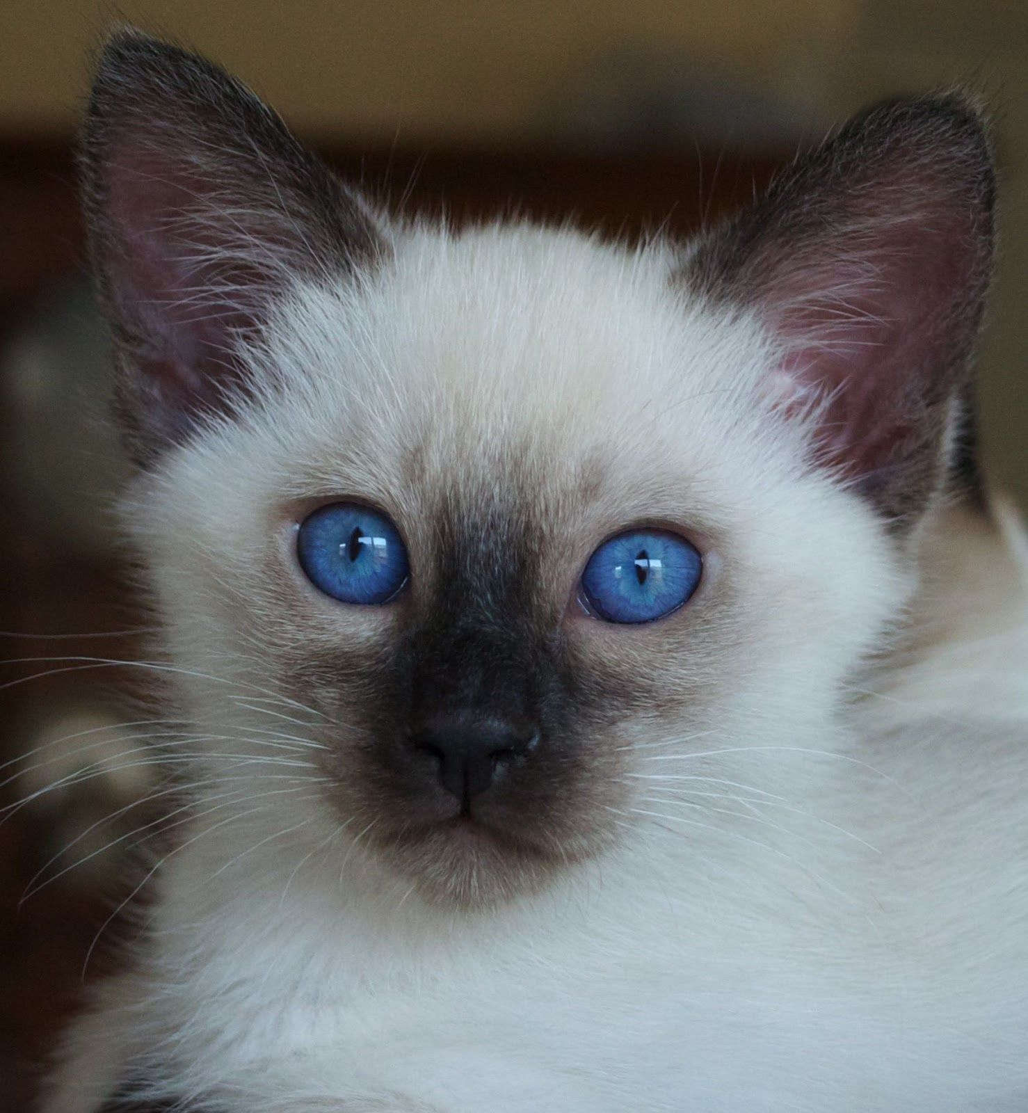 Blue Seal Point Siamese Sorry Sold Seal Point Siamese Balinese