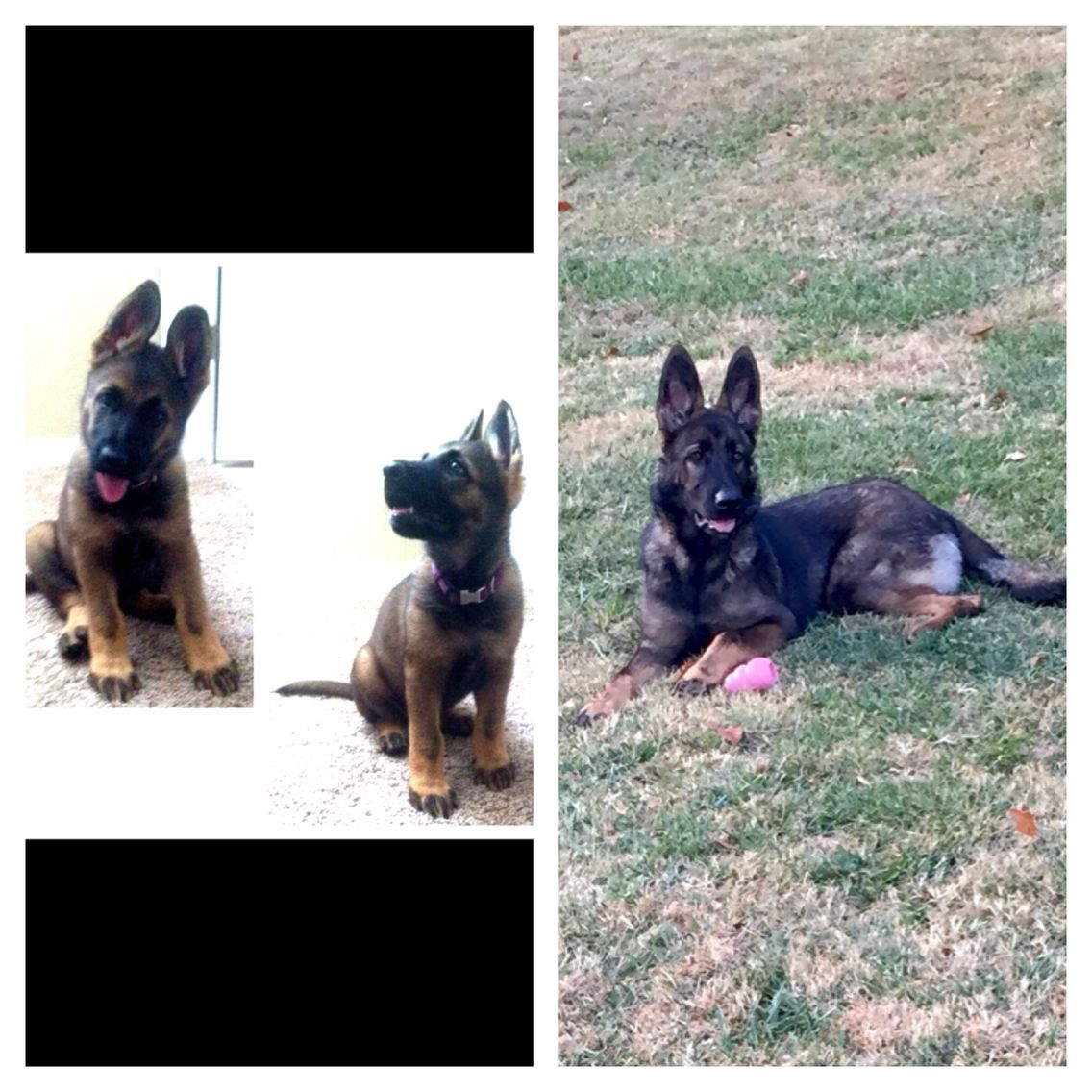 Ddr Czech German Shepherd Bloodline Trinity Sable Color Change