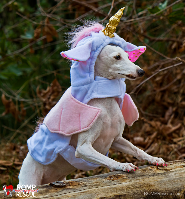 Italian greyhound halloween costume halloween costume unicorn italian greyhound halloween costume halloween costume unicorn dress up contest solutioingenieria Gallery