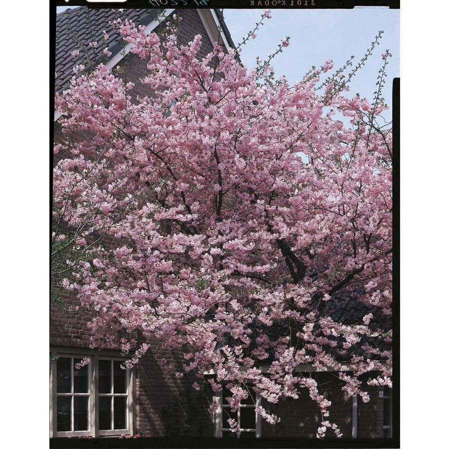 Kwanzan Flowering Cherry Tree I M Getting One For The First Spring At My New Home Flowering Cherry Tree Potted Trees Flowering Trees