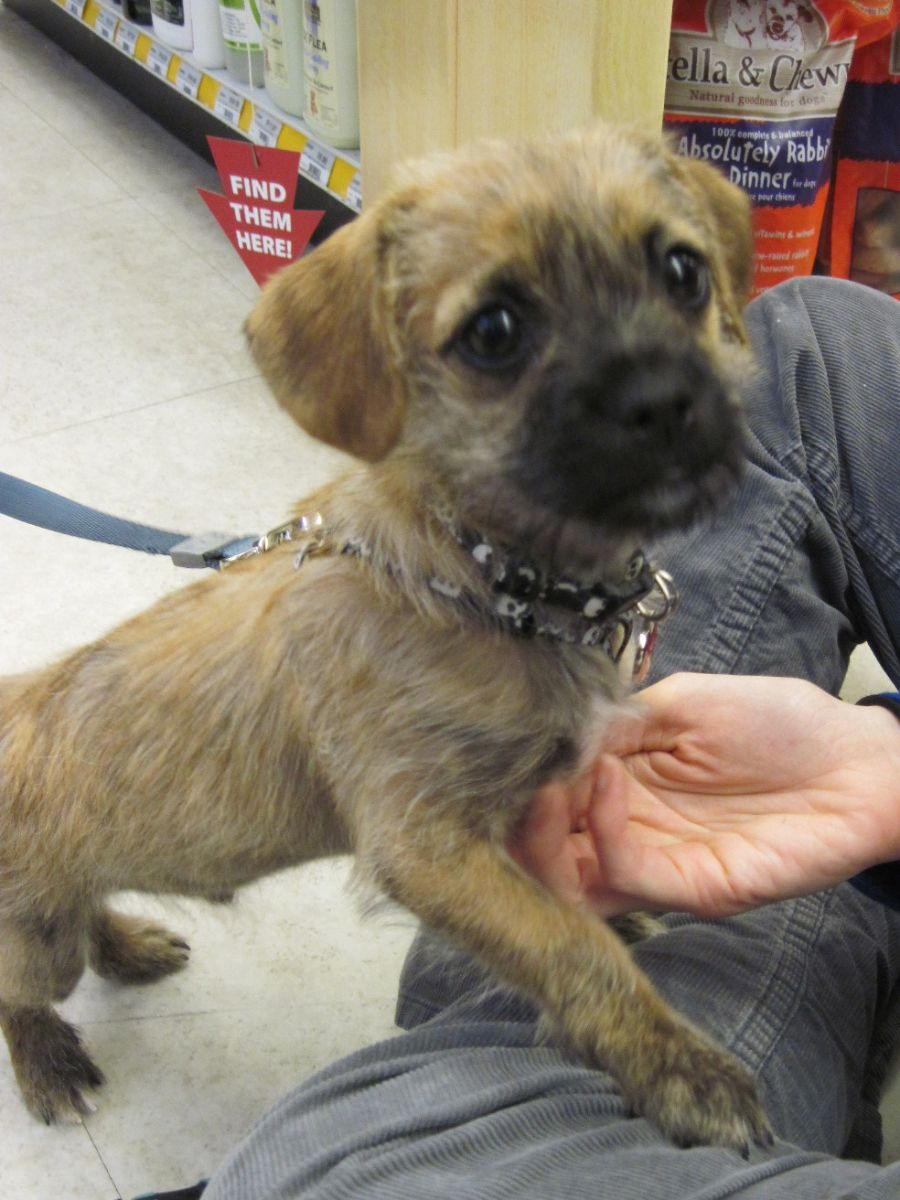 This Is Pete A 3 Month Old Pug And Yorkie Mix Also Known As A