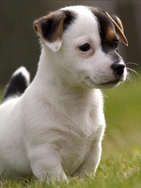 Joli petit toutou | Jack russel | Choisir son chien, Bébé ...