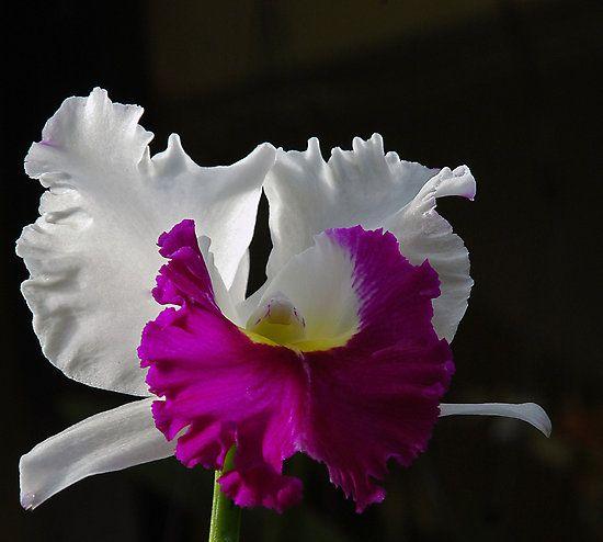 Cataleya Colombian Flower Tattoo Tattoo Mit Bildern Orchideen Blumen Pflanzen