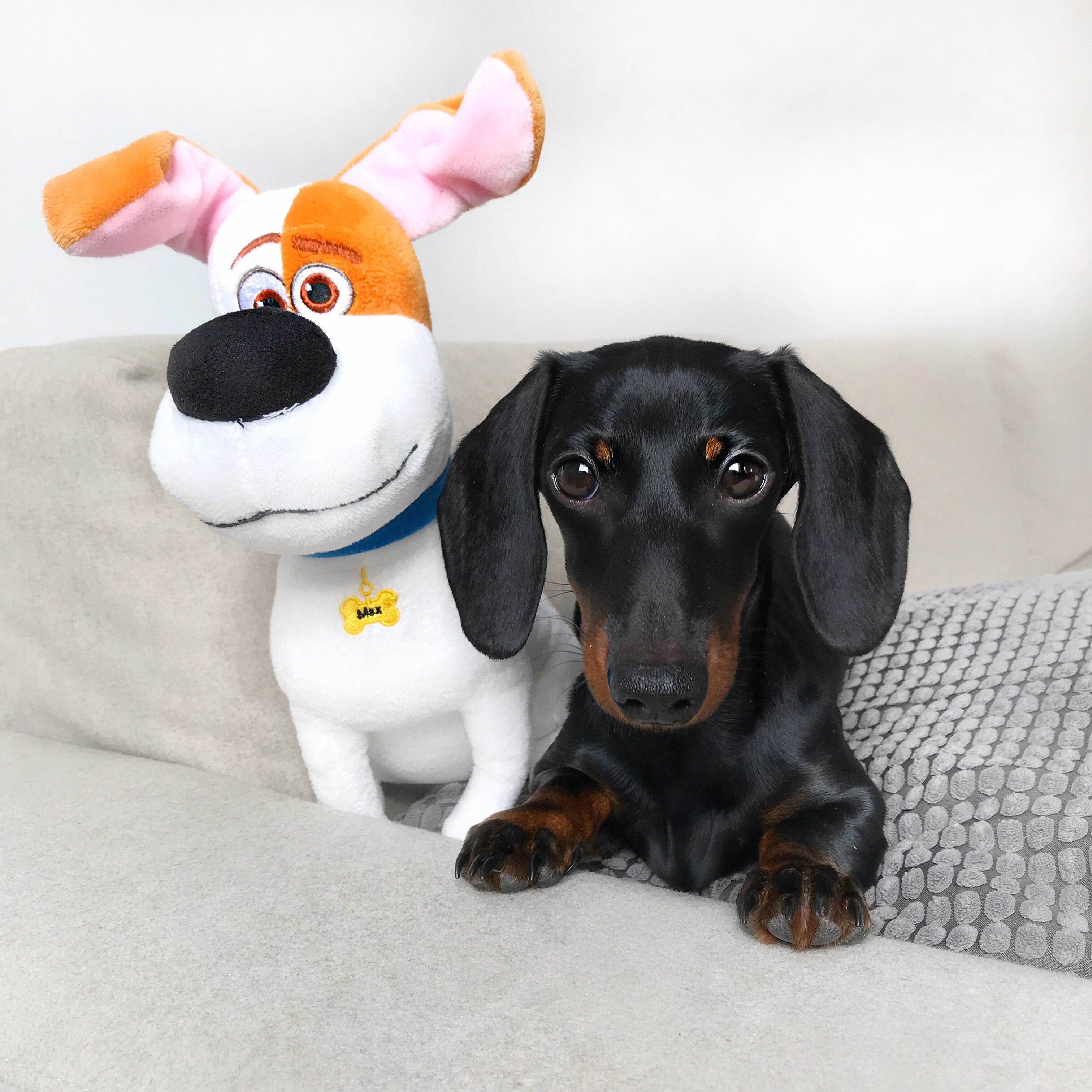 Pin By Aliza Hy On Cutest Animals Ever Doxie Puppies Dachshund