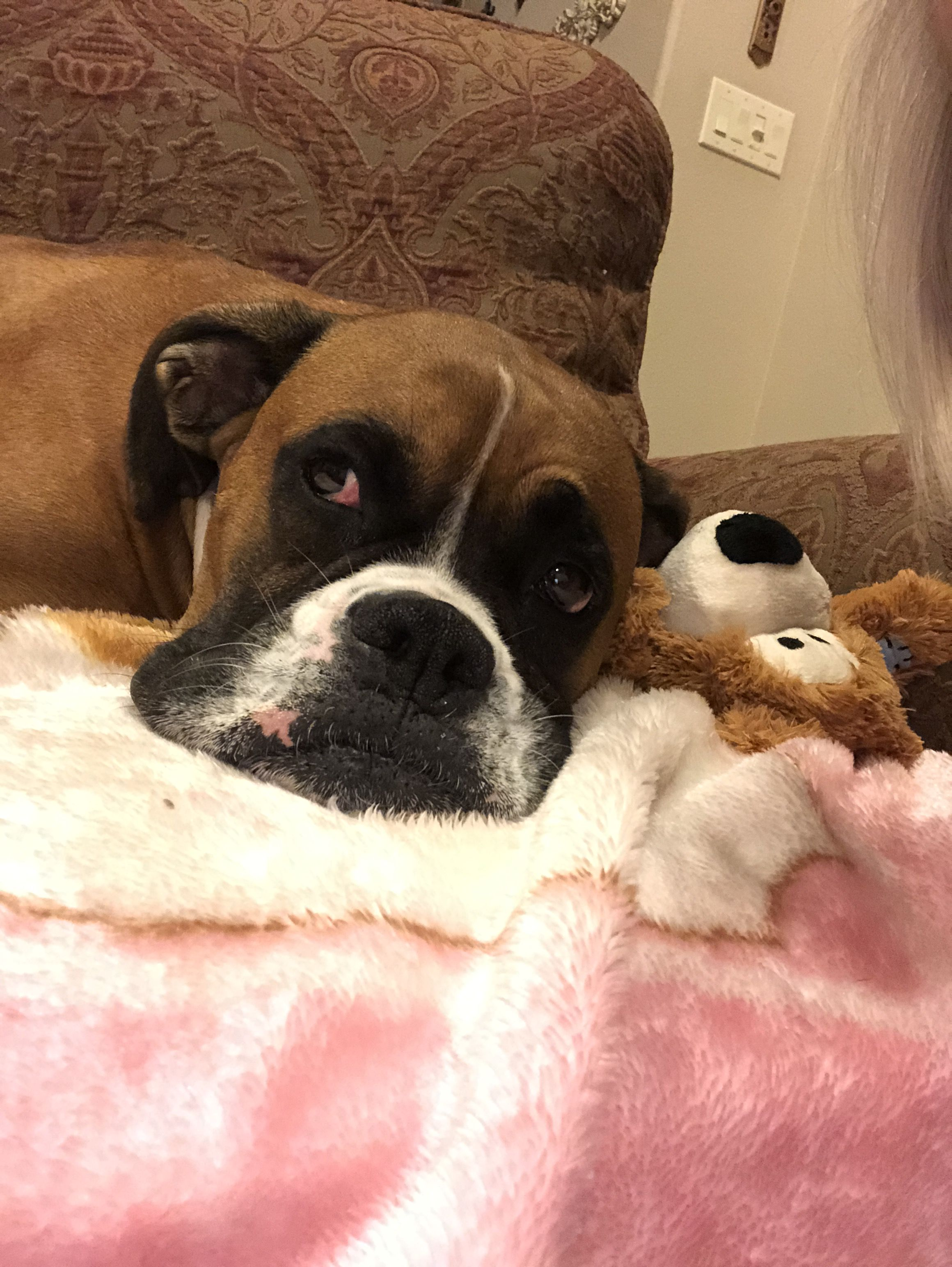 Pin by julie carlile on boxer dogs boxer dogs boxer