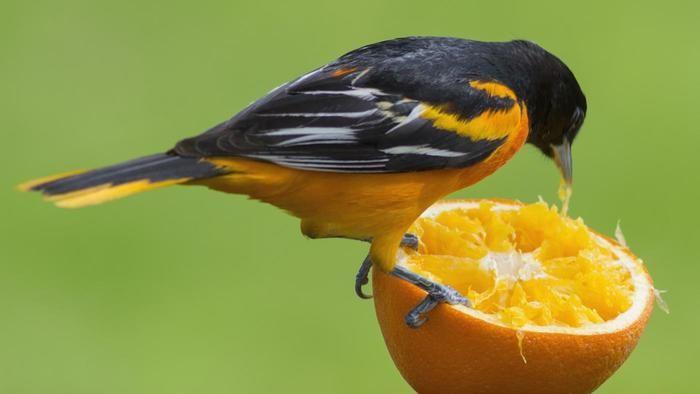 What Animals Eat Oranges Animals What Is A Bird Oranges