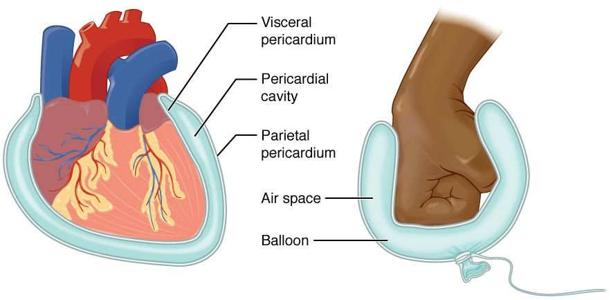 This Diagram Shows The Pericardium On The Left Next To An Analogy Of