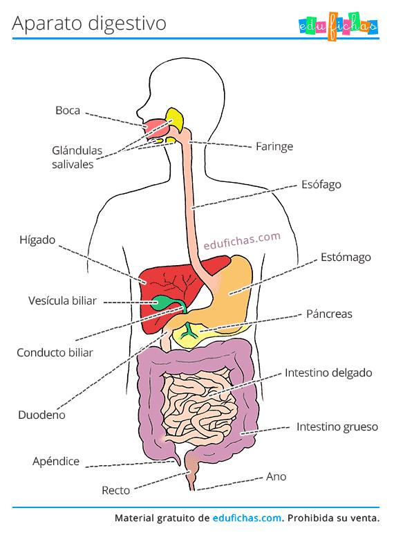 Aparato Digestivo Para Ninos Aparato Digestivo Sistema Digestivo Para Ninos Ejercicios De Calculo