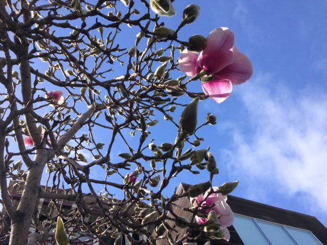 Elating Early Blooming Trees Magnolia And Flowering Plums Blooming Trees Flowering Trees Bloom