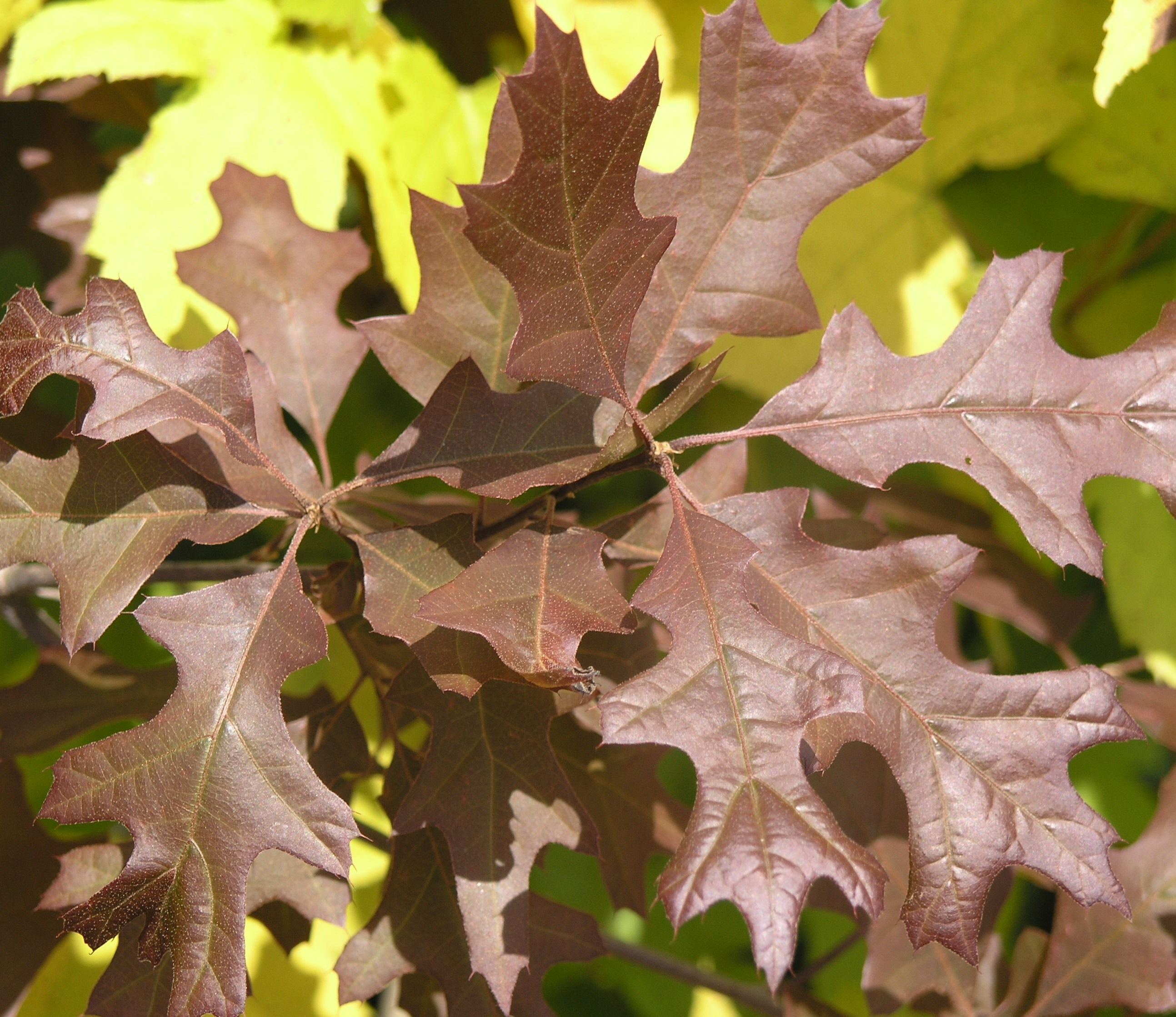 Charisma® Nuttall Oak is a handsome native tree with
