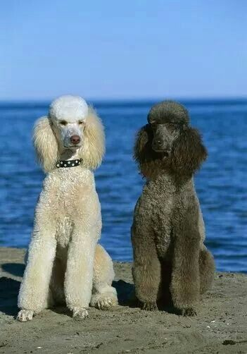 Poodles At The Beach Standard Poodle Poodle Poodle Puppy