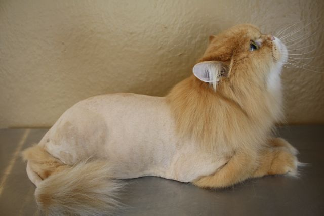 Lion Persian Cat Another Example Of A Standard Lion Cut With A