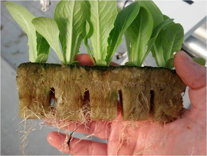 Romaine Lettuce Seedlings 2 Weeks After Planting In 400 x 300