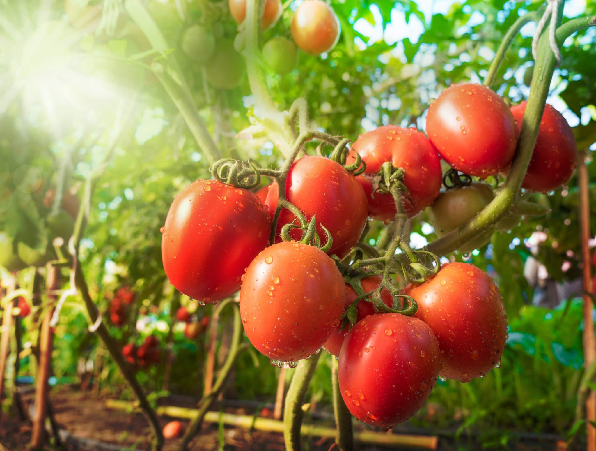 Smart Plants Another Reason To Not Eat Tomatoes Gundry Md In 2020 Companion Planting Garden Companion Planting Container Gardening Vegetables