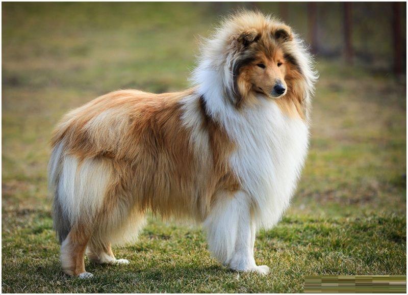 Rough Collie Facts Pictures Puppies Rescue Temperament