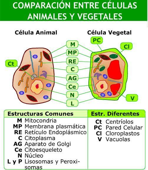 Células Animales Y Vegetales Educarchile Didactalia