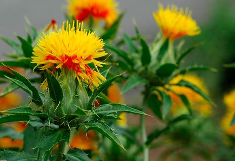 Safflower Carthamus Tinctorius Plants Wildflower Seeds Safflower