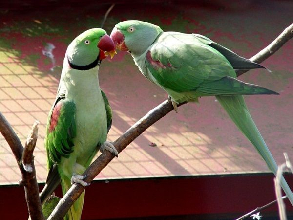Love Birds Kissing 38 Photos With Images Parrot Parakeet Birds