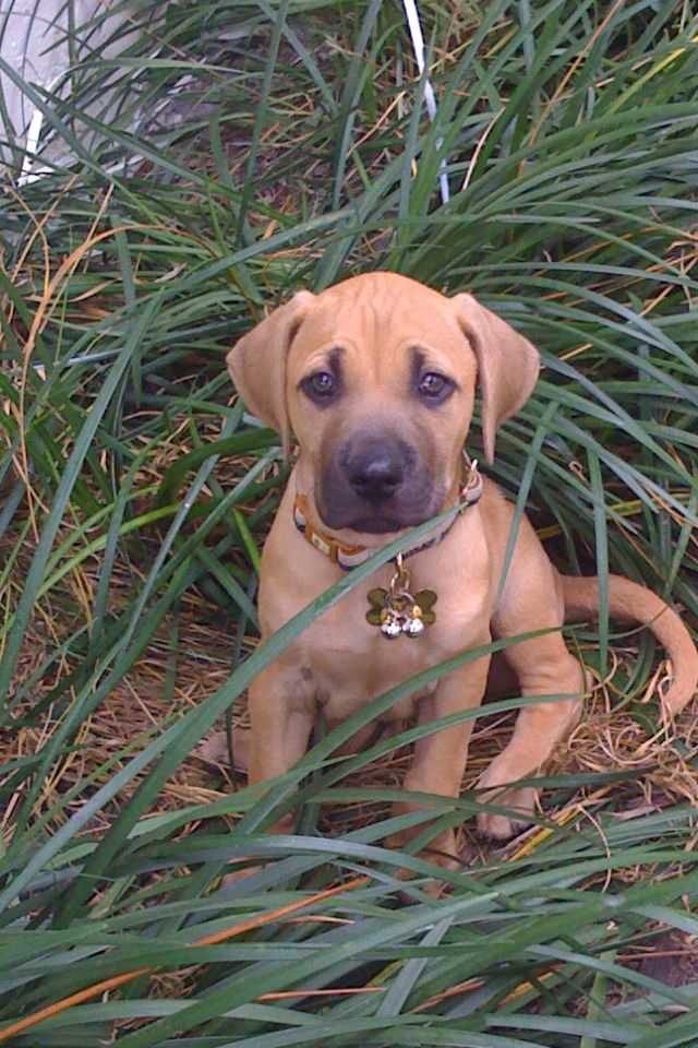 Beautiful Rhodesian Ridgeback Black Adorable Dog - e45a86b0b4e341abc2cf52f6dbf1aaa3  Pic_307226  .jpg