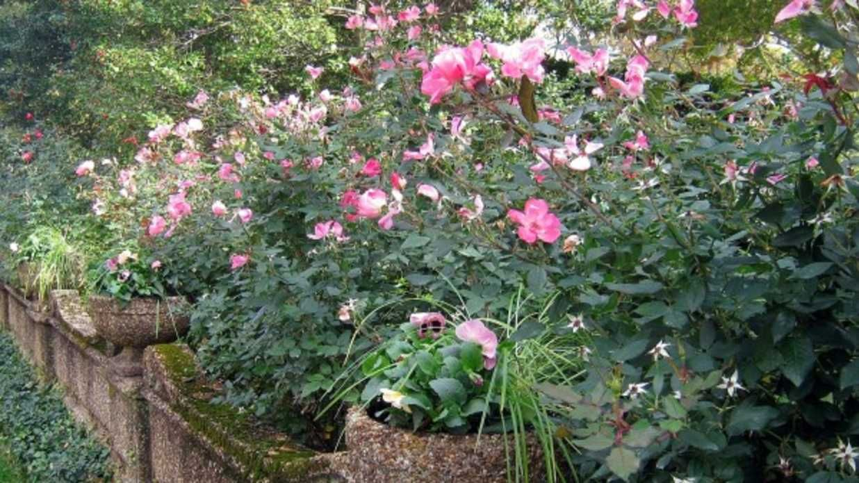 Pruning Knock Out Rose When Why And How Knockout Roses Garden Shrubs Pruning Knockout Roses