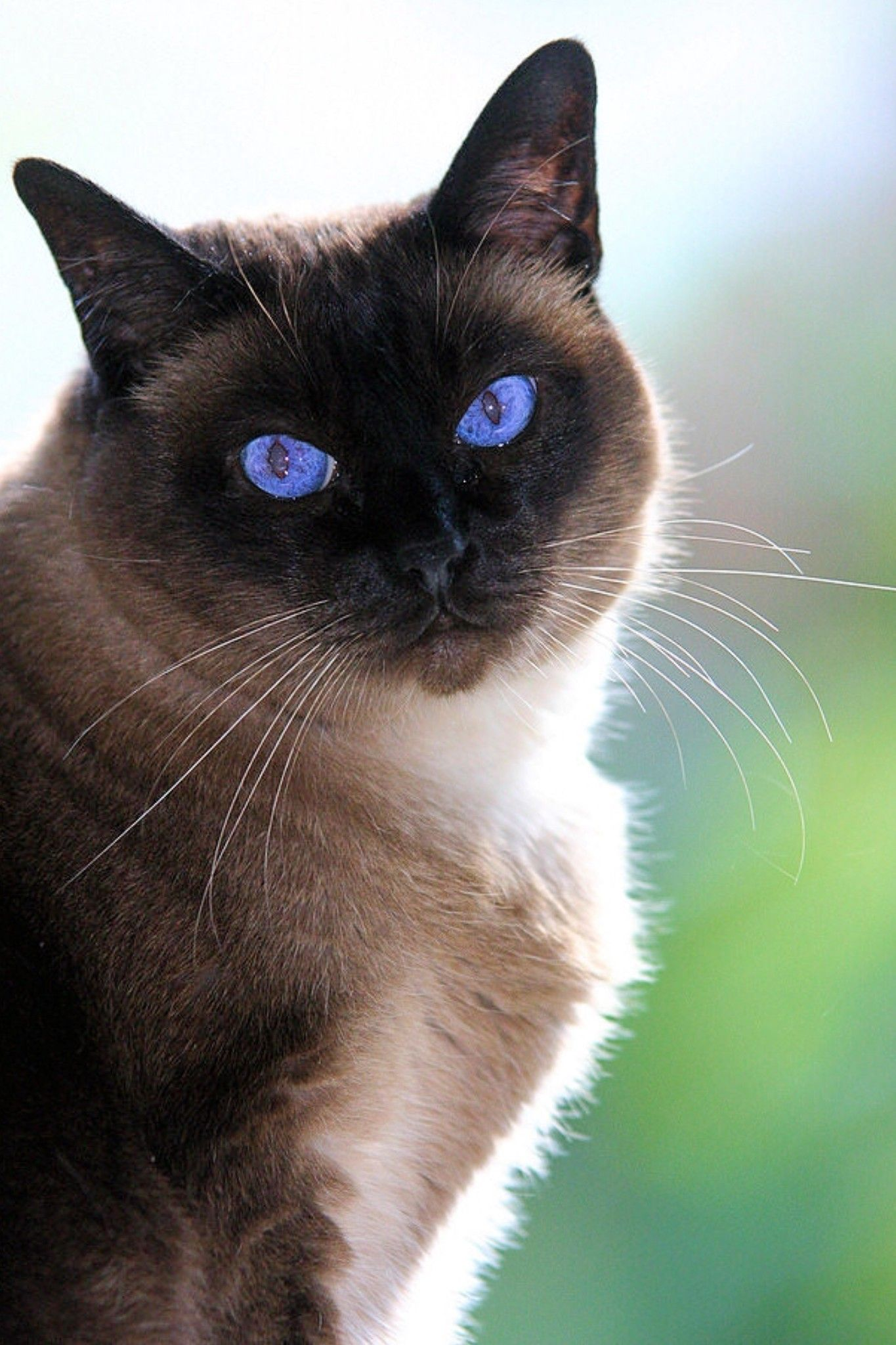 Siamese Cat 39 Applehead Siamese Cat Pictures Life Criters In 2020 Kitten Breeds Siamese Cats Cats And Kittens