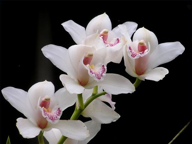 Tips On Growing White Orchids Orchid Flowers What Do Symbolize