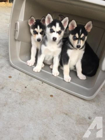 Gorgeous Purebred Siberian Huskies For Sale In Oceanside
