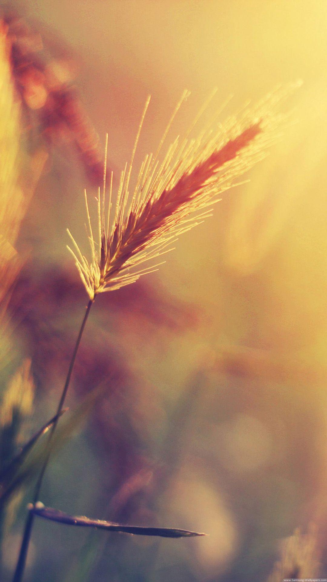 wheat plant closeup iPhone hd wallpaper Ipad air